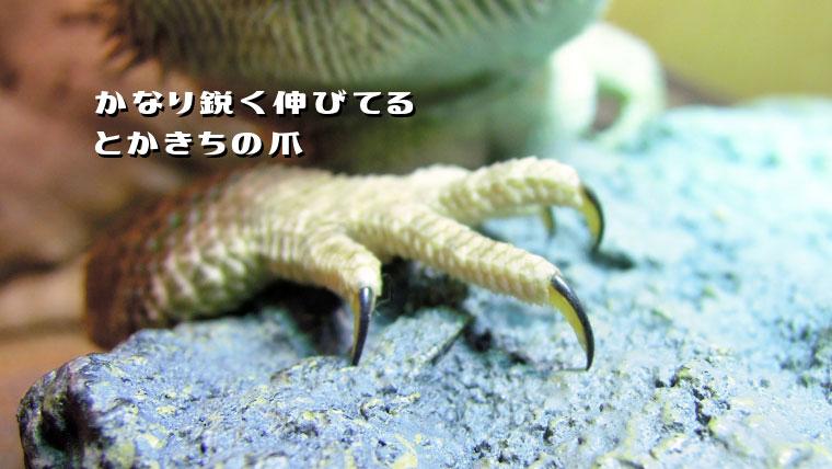 フトアゴヒゲトカゲの爪の切り方とかきちの爪