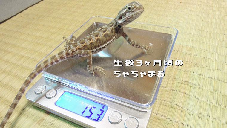 フトアゴヒゲトカゲ体重測定