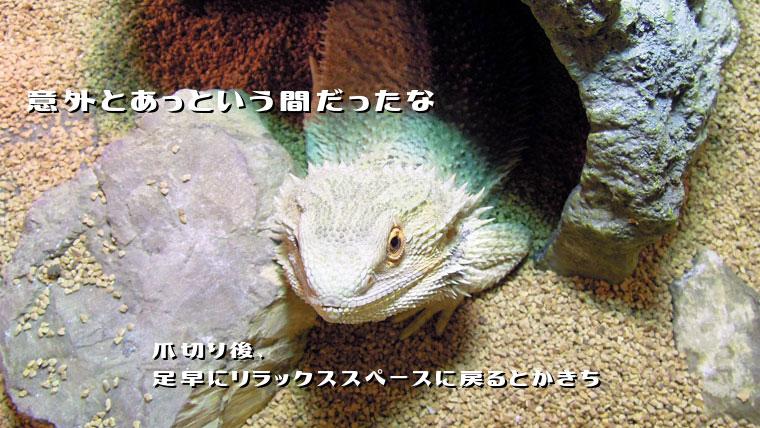 フトアゴヒゲトカゲ爪切り後