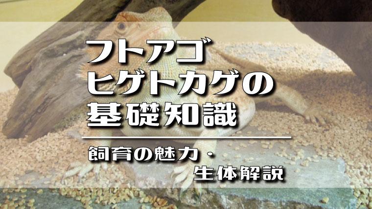 フトアゴヒゲトカゲの基礎知識!飼育の魅力・生体解説
