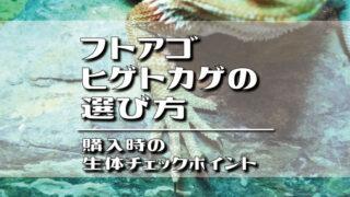 フトアゴヒゲトカゲの選び方・購入時の生体チェックポイント