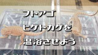 フトアゴヒゲトカゲを温浴させよう