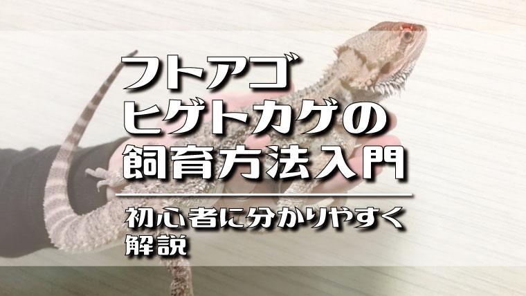 フトアゴヒゲトカゲの飼育方法入門!初心者に分かりやすく解説