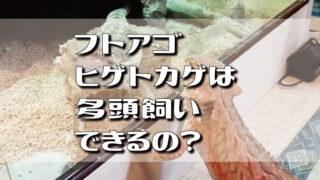 フトアゴヒゲトカゲは多頭飼いできるの?