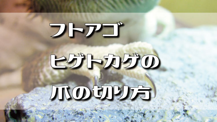 フトアゴヒゲトカゲの爪の切り方