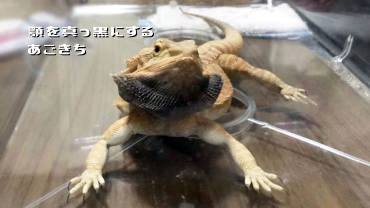 なぜフトアゴヒゲトカゲの顎が黒くなる?あごきち