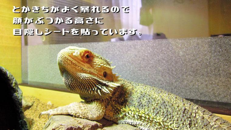 フトアゴヒゲトカゲの口吻潰れに気をつけよう!目隠しシート