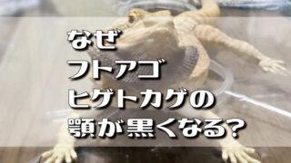 なぜフトアゴヒゲトカゲの顎が黒くなる?