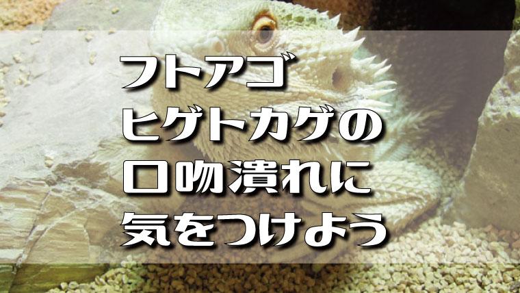 フトアゴヒゲトカゲの口吻潰れに気をつけよう