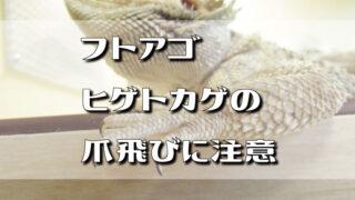 フトアゴヒゲトカゲの爪飛びに注意